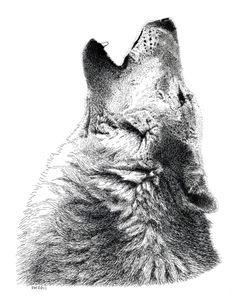 Howling Timber Wolf Pen and Ink Drawing by scottwoyak