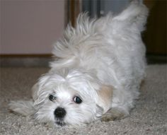 Maltese, one of my favourite dog breeds