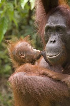 A kiss is a kiss. #Orangutan Foundation