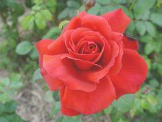 RP: 'Fidelio' Bright Scarlet to Dusky Crimson Floribunda Mild Fragrance Meilland Roses