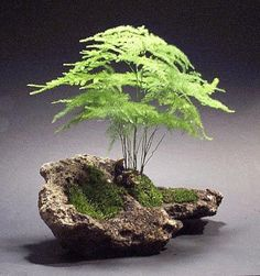 Delicate Kokedama made with asparagus fern on mossy rock.