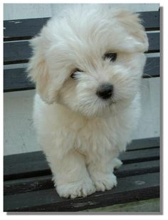 Coton de Tulear: this is the puppy I will buy eventually! Awwww, look at that face!