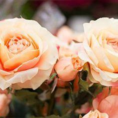 Verschenken Sie Freude! #Geschenk #Freude #Blumenstrauß #Rose Gerbera, Flowers, Plants, Cut Flowers, Joy, Flora, Royal Icing Flowers, Floral, Plant