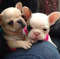 Adorable French Bulldog sisters....