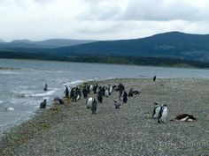 Magellanic penguins own the beach:  Martillo Island on Patagonia's Beagle Channel
