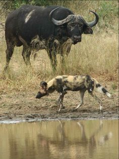 A Wilddog and Buffalo.  From the blog http://arathusa.co.za/african-wild-dogs-by-ranger-dries-jordaan-2/