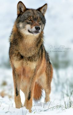 The Guardian; a Very Handsome Wolf. (by Marcel Bressers). Beautiful Wolves, Most Beautiful Animals, Wolf Spirit, Spirit Animal, Eurasian Wolf, Wolf Poses, Malamute, Wolf Hybrid, Wolf World