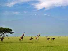 Under the watchful eye of the majestic Kilimanjaro.  http://www.greatplainsconservation.com/rk/index.html