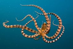 Wonderpus Octopus, Lembeh Strait, Indonesia Octopus: The Footed Void by Caspar Henderson | NYRblog | The New York Review of Books