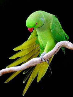 Indian Ringneck Parrot Photograph by Mikaela Fox