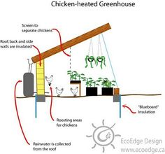 Chicken-heated greenhouse