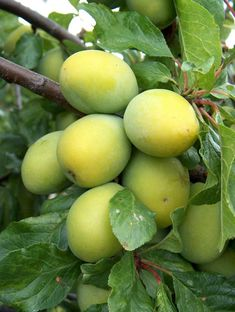 egg fruit forbidden fruits