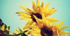 http://wallpapervn.com/free-wallpaper-hd/flowers/sunflowers/qBRp