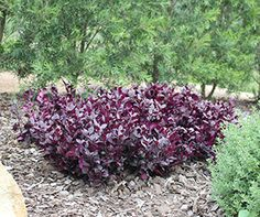 LITTLE RUBY™ Alternanthera is a compact ground cover