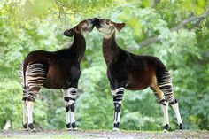 Okapi may look like they're related to the zebra family, but they're actually the only living relative of the giraffe and are found in the dense rainforest of Africa. 35 different pics of various animals. Animals Of The World, Animals And Pets, Baby Animals, Cute Animals, Wild Animals, Reptiles, Mammals, Zebras, Beautiful Creatures