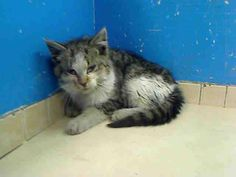 **EXTREMELY URGENT** DIES/KILLED IN MORNING/MARCH 22, 2013/ FRIDAY** 11 WEEKS** PLEASE HELP**ADOPT/FOSTER...RESCUE **KITTEN IS AT MANHATTAN CENTER, NEW YORK**DEATH ROW CATS, NEW YORK   http://www.petharbor.com/pet.asp?uaid=NWYK.A0959879  ALL LOCATIONS:   For more information on adopting please read the following:https://www.facebook.com/PetsOnDeathRow/app_396393053713168?ref=ts XXXX