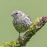 Siskin by peterspencer49