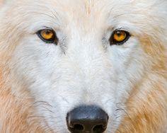 suicidegeeks:    Intense polar wolf by Tambako the Jaguar on Flickr.