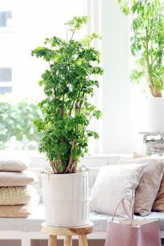 De plant van de maand oktober is de Polycias. Een fijne plant die vooral in de schaduw gedijt en uit kan groeien tot wel 1 tot 1,5 meter. Kijk.. echt een plant voor