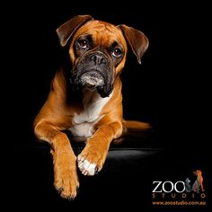 Boxers have the best faces! by Zoo Studio Photography, via Flickr.com