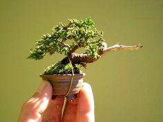 mame bonsai | Mame – Trabalhos de vários artistas | Aido Bonsai
