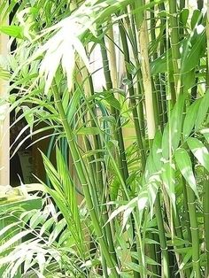 chamaedorea seifrizzii - Backyard Tropical Garden in a Small Space -  ordered 4