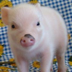 Yes, I still very much want a baby teacup pig