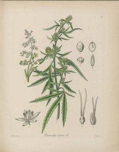 185997 Cannabis sativa L. / Kohl, F.G., Die officinellen Pflanzen der…