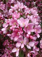 Thunderchild Flowering Crab is a hybrid crab apple known for its attractive and fragrant dark pink blossoms and deep purple mature leaves. Deciduous Trees, Flowering Trees, Fruit Trees, Trees To Plant, Crabs For Sale, Privacy Trees, Tree Sale, Fast Growing Trees, Spruce Tree