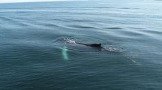Baleines Canada