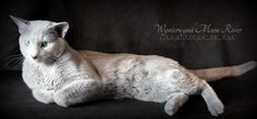 Look at this beautiful boy's scrumptious coat of platinum plush! Isn't he gorgeous? What a wonderful example of the Russian Blue Cat! He is a loving, purring little sweetheart, too!