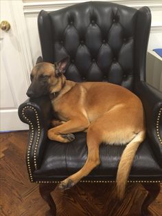 Belgian Malinois Bella loves sleeping in this chair!!