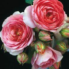 Rosier Generosa Amandine Chanel - Rosier buisson très parfumé (vanille, pêche, cerise, limette).