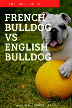 Are you wondering what the similarities and differences are between a French bulldog and an English bulldog? French and English bulldogs have a lot of similarities but also a lot of differences. French Bulldog Facts, English Bulldog Puppies, English Bulldogs, French Bulldogs, Best Dog Breeds, Large Dog Breeds, First Night With Puppy, Food Dog, Baby Bulldogs
