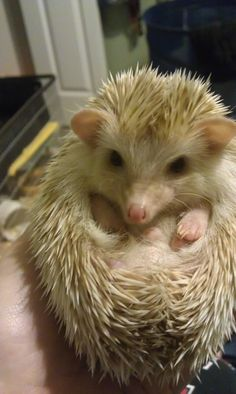 Hedgehog= little ball