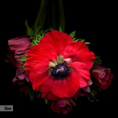 Photograph FLEUR ROUGE... Les Anemones by Magda Indigo on 500px