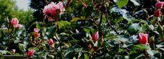 Albartine. Historiske slyng- og klatreroser - Albartine (Rosa Wichuraiana)