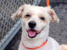 TO BE DESTROYED - 03/14/15 Manhattan Center -P My name is MAXWELL. My Animal ID # is A1029824. I am a male white and brown poodle min. The shelter thinks I am about 7 YEARS old. I came in the shelter as a OWNER SUR on 03/09/2015 from NY 10459, owner surrender reason stated was OWNER SICK. https://www.facebook.com/photo.php?fbid=975853755760837