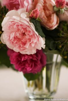 Bland rosor och bladlöss: Mina rosor