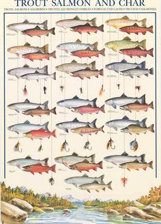 Trout Salmon Char Fly Fishing Fish Types Animal Poster 27x38 – BananaRoad