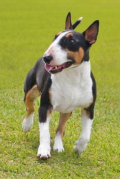Love these dogs. Chien Bull Terrier, Mini Bull Terriers, Bull Terrier Puppy, Miniature English Bull Terrier, English Bull Terriers, Big Dogs, Cute Dogs, American Bully, Bully Dog
