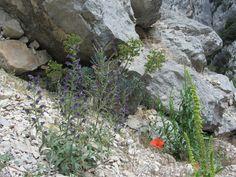 Walking in the Gorge de Verdon, Haute- Provence came cross these little plants surviving among the stones.