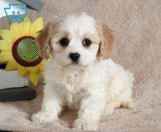 Comet | Cavachon Puppy For Sale | Keystone Puppies Baby Puppies For Sale, Cute Dogs And Puppies, Cavachon Puppies, Design Development, Cute Babies, Fun, Animals, Animales, Animaux