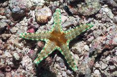Cuming's starfish- Papua- New Guinea