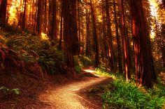Golden Forest, The Redwoods, California