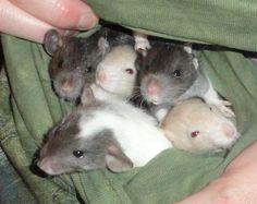 Rat - picture