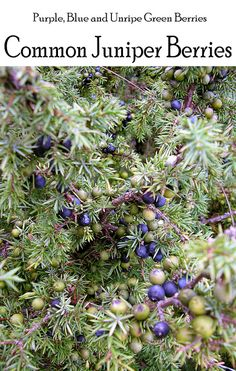 Common Juniper (Juniperus communis) with ripe (purple/blue) and unripe (green) berries.