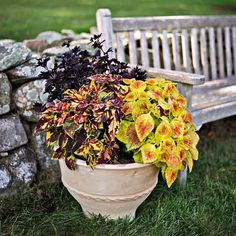 Coleus Plants: Varieties, Care & Growing Them - This Old House Coleus Care, Endless Summer Hydrangea, White Flower Farm, Yellow Leaves, Potting Soil, Begonia, Propagation, Container Plants, Old Houses