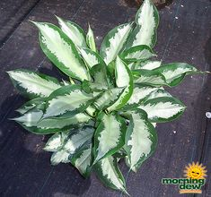 Plant Selections - interior plant service baltimore interior office tropical service - Interior Plantscape and Maintenance in the Baltimore Metropolitan area Chinese Evergreen, Office Plants, Tropical House Plants, Planting Flowers, Commercial Landscaping, Plants, Plant Installation, Tropical Plants, Low Light Plants