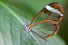 Glasswing butterfly, Greta morgane oto    Where? Central America.  Habitat Tropical rainforest.  Science fact The Greta morgane has body fluids taken from plants which are nauseating for birds, making them unattractive prey.